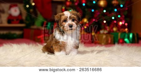 Cute Bichon Havanese Puppy Dog Is Sitting In Front Of A Christmas Tree And Some Gifts - Banner