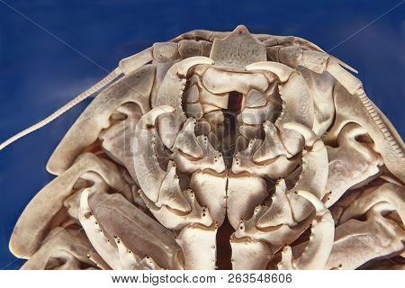 Giant isopod Bathynomus giganteus viewed from under