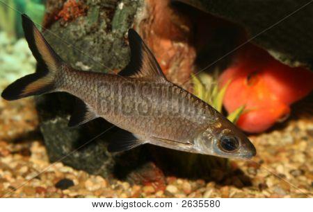 Bala Shark Fish.
