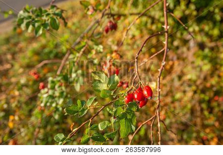 Elongated Red Rose Hips Shining In The Autumn Sunlight. The Rose Hips Grow On An Almost Bare Branch