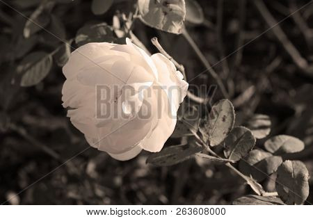 Close Photo Of A Light Bloom Of Rose In Contrast With Darker Background In Desaturated Tones