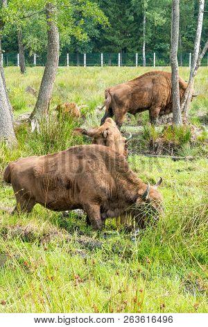 European Bison, Bison Bonasus, Visent, European Bison In Park