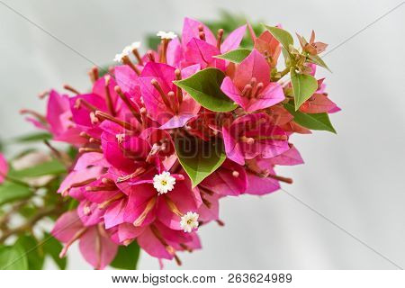 Bouquet Of Red Bougainvillea Blooming Flower With Green Leaves