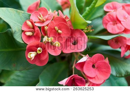 Red Euphorbia Milli With Green Leaves As Background