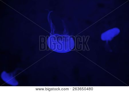 Jelly Fish In Backlight