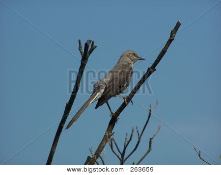 mockingbird sitting on branch poster