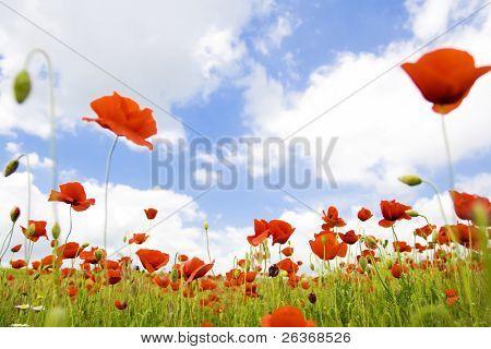 beautiful poppy field, summer flowers