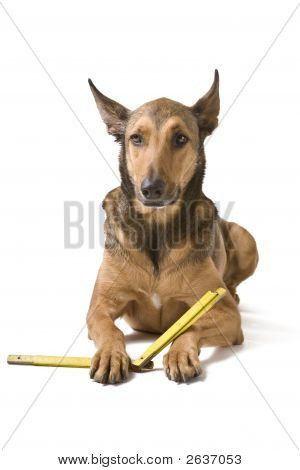 Belgian Malinois as a construction worker with measurement instrument isolated on white poster