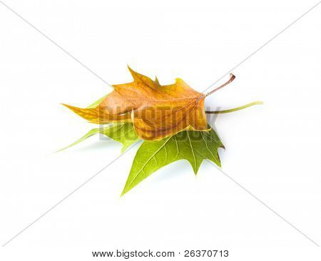 changing time; green and yellow leaves on white background