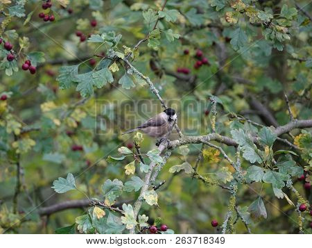 Willow Tit (poecile Montanus) Perched On Hawthorn Branch In Woodland