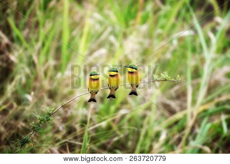 A trio of little bee-eaters, Merops pusillus, on a branch in the Masai Mara.