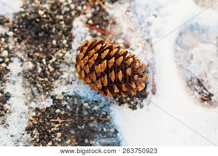 Pine Cone On A Snowy Forest Ground In South Lake Tahoe, California
