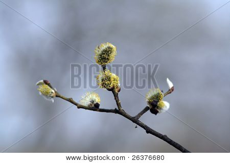 The blooming buds of Salix caprea at spring