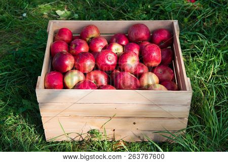 Apples Red Ripe Fruits In Wooden Box On Grass. Apple Harvest Concept. Ripe Organic Fruits In Garden.