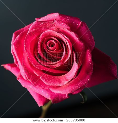 Beautiful Close-up Pink Rose With Water Drops On Dark Background.