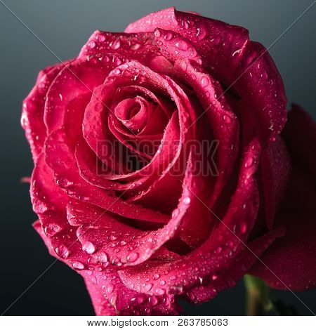 Beautiful Close-up Pink Rose With Water Drops.