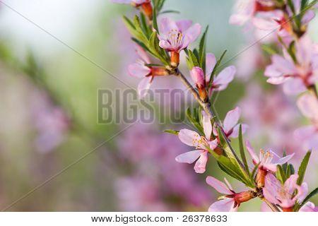 Macro of flowers of almond tree. Shallow DOF, focus on stamens.