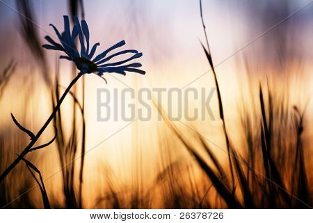 Field flower and weed at summer sunset.