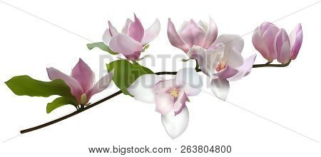 Magnolia Branch Isolated Spring Flower Blossom Vector Illustration. Pink Blooming Tree  Elements Des