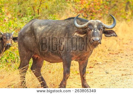 Adult Male Of African Buffalo Species Syncerus Caffer, Standing In Nature, Dry Season. Kruger Nation