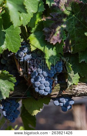 Unharvested grapes on the vine showing signs of decay and autumn colors