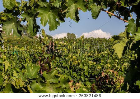 Rows of grape vines in autumn at a winery with clouds in the sky