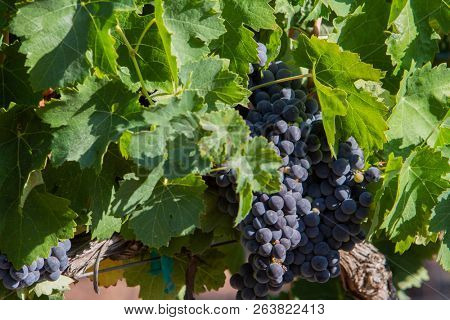 Unharvested grapes on the vine showing signs of decay