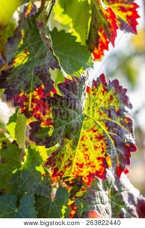 Grape leaves changing colors in autumn, fall colors