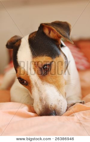 dog Jack Russell Terrier in the bed