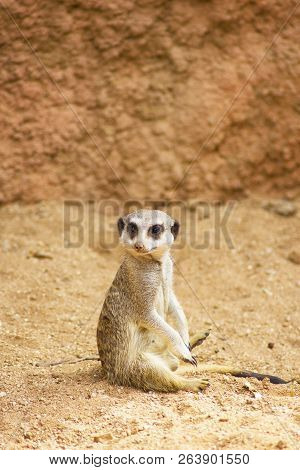 Cute Meerkat Sitting Upright On Rock And Watching Around
