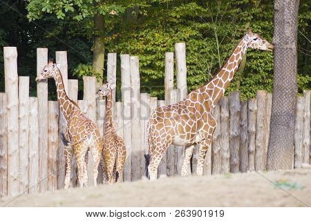 Three Giraffes In The Dry Landscape. A Giraffe Family