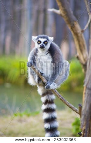 Lemur Sits On A Branch. Close Up Of A Ring-tailed Lemur