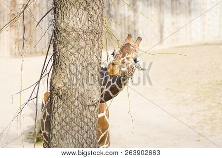Young Funny Giraffe At The Zoo. Giraffe Eating Leaves Of A Tree