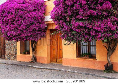 Bougainvillea trees growing by the house in historic quarter of Colonia del Sacramento, Uruguay. It is one of the oldest towns in Uruguay poster