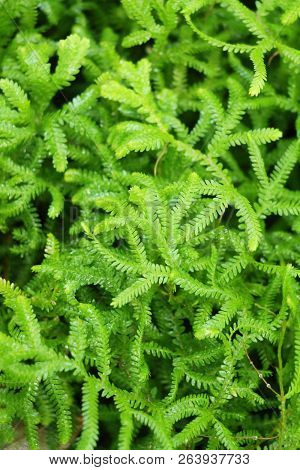 Fern Is Beautiful In Garden With Nature