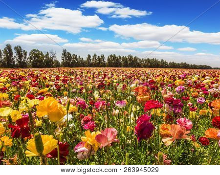 Field of flowering garden buttercups/ ranunculus. Kibbutz in the south of Israel. Spring in Israel. Easter week. Concept of active and ecological tourism
