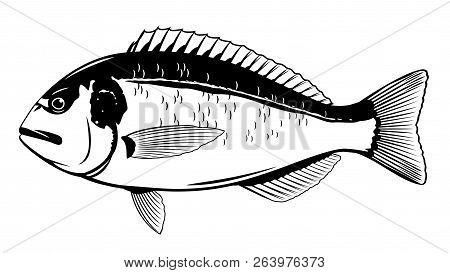 One Gilt-head Bream Fish In Side View In Black And White Color, Isolated