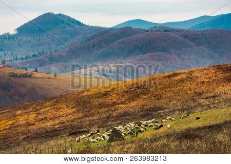 Mountainous Countryside In Deep Autumn. Almost Leafless Forest In Haze In The Distance. Herd Of Shee