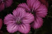 Maiden Pink Dianthus (dianthus deltoides) Flower Heads At Close-up poster