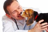 Veterinarian doctor making a checkup of a beagle puppy dog poster