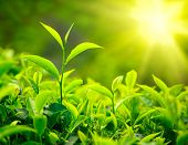 Green tea bud and leaves. Tea plantations, Kerala, India poster