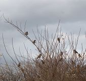 Small birds on a bush with dark clouds in background. poster