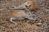 the two agile wallabies are resting in the sun poster