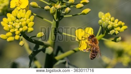 Honeybee Pollinating An Oilseed Rape Flower For Honey, Pollinate Of Flower