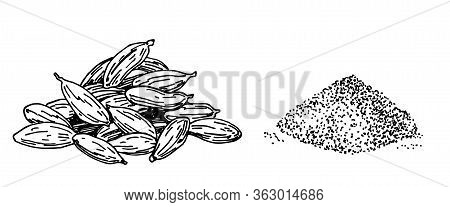 Cardamom Illustration, Drawing, Engraving, Ink, Line Art, Vector. Isolated Object. Engraved Style Se