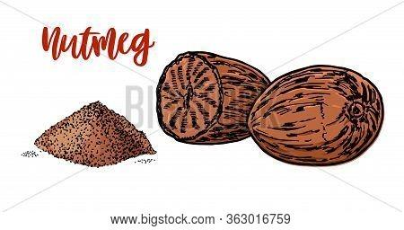 Nutmeg Hand Drawn Vector Illustration. Whole And Ground Fragrant Nutmeg. Isolated Sketch Of Nutmeg.