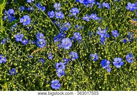 Flax (linum Usitatissimum), Also Known As Common Flax Or Linseed, Is A Member Of The Genus Linum In