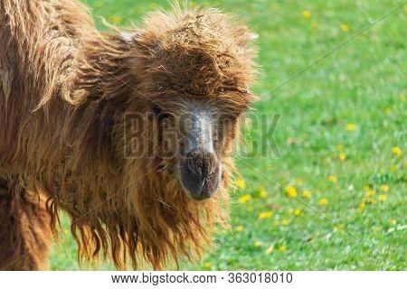 Portrait Of Wild Bactarian Camdel, Camelus Ferus