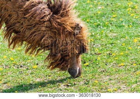 Portrait Of Wild Bactarian Camdel, Camelus Ferus Eating Grass