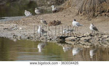 Group Of Seagulls In Breeding Season In